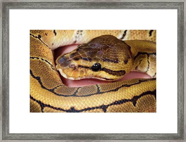 Pinstripe Royal Python Framed Print