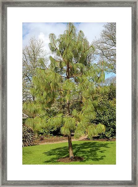 Pinus Hartwegii Framed Print