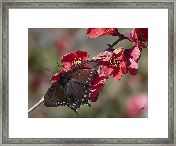 Pipevine Swallowtail And Roses Framed Print