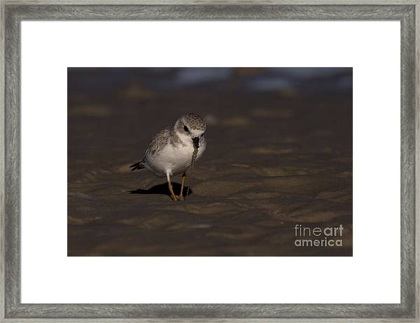 Piping Plover Photo Framed Print
