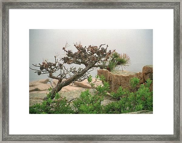 Pitch Pine Framed Print