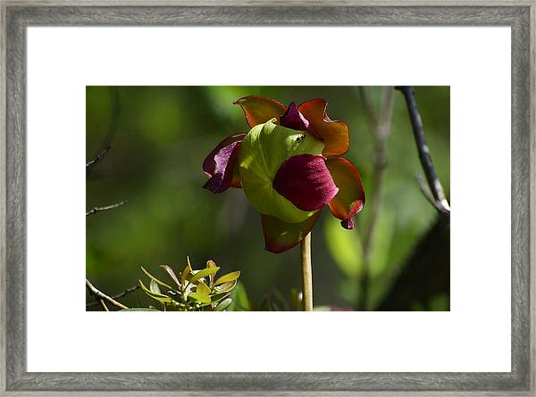 Pitcher Plant Flower 1 Framed Print