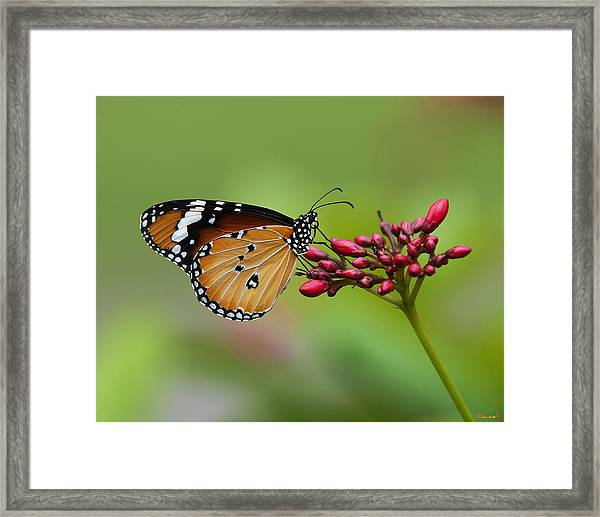 Plain Tiger Or African Monarch Butterfly Dthn0008 Framed Print