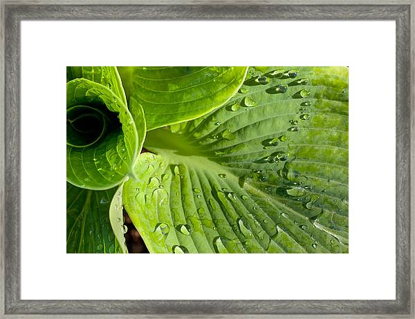 Plantain Lily Framed Print