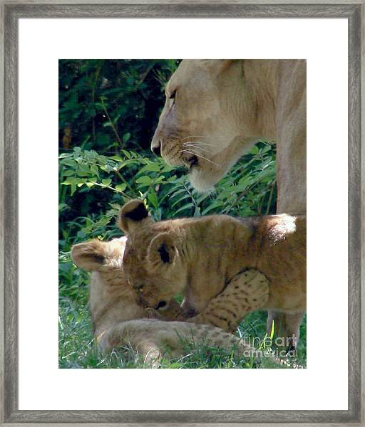 Playful Cubs Framed Print