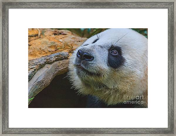 Pleading Panda Framed Print