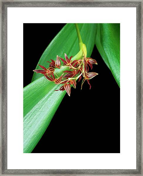 Pleurothallis Secunda Framed Print by Geoff Kidd/science Photo Library