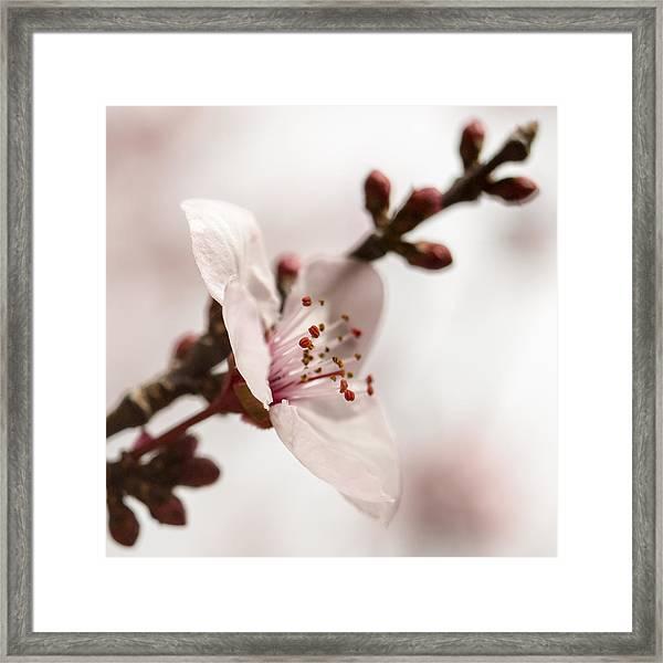 Plum Pink Framed Print