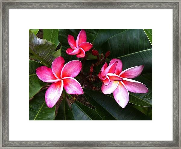 Plumeria Blooms Framed Print