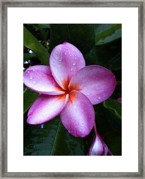 Plumeria With Raindrops Framed Print