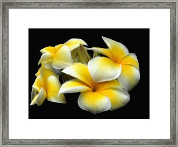 Plumeria Yellow And White Framed Print