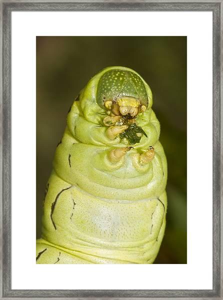 Plump Green Caterpillar Framed Print