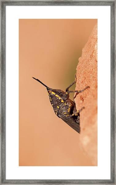 Poekilocerus Bufonius Framed Print