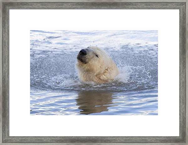 Polar Bear Framed Print by Andrew Dernie
