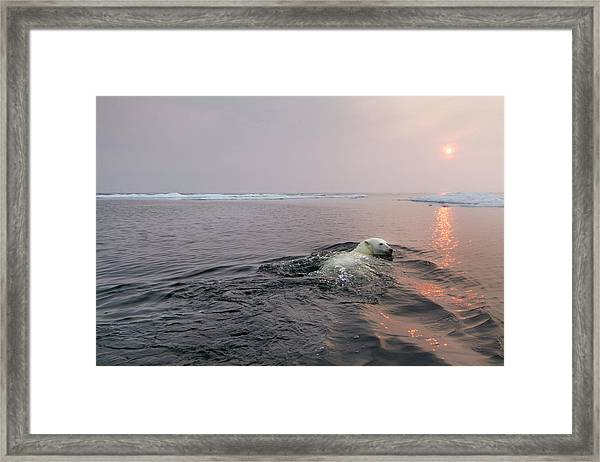 Polar Bear, Hudson Bay, Canada Framed Print