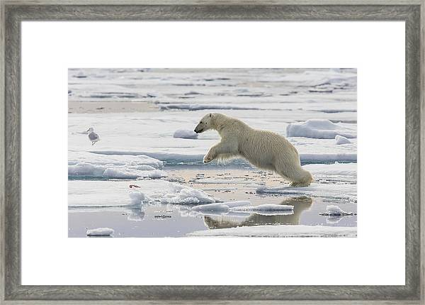 Polar Bear Jumping  Framed Print