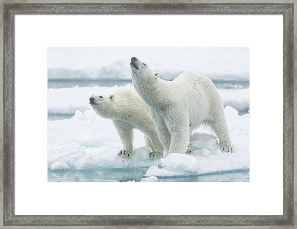 Polar Bears, Mother And Son Framed Print