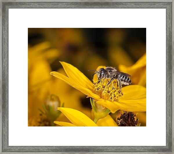 Pollenating Coreopsis Flower Framed Print