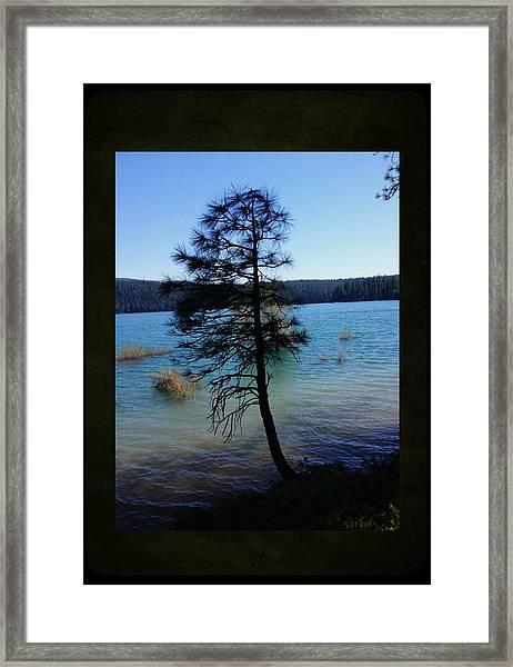 Pollock Pine Framed Print