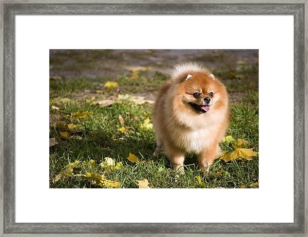Pomeranian Dog Framed Print
