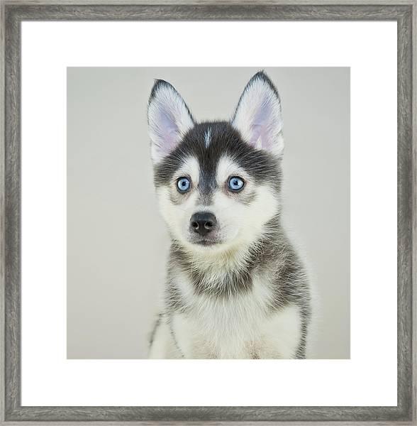 Pomsky Puppy Framed Print by Stockimage
