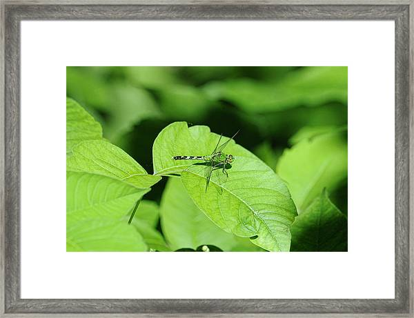 Framed Print featuring the photograph Pond Hawk by David Armstrong