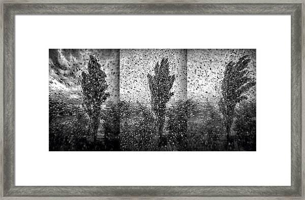 Poplars In The Storm Framed Print