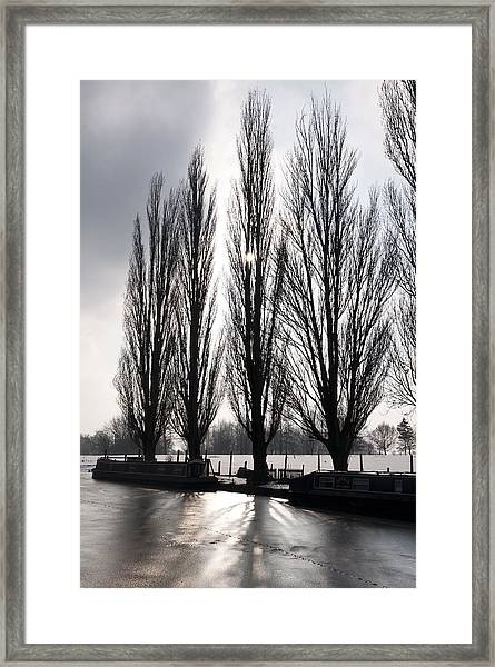 Poplars In Winter Framed Print