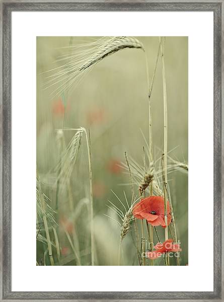Poppies And Wheat Ear Framed Print