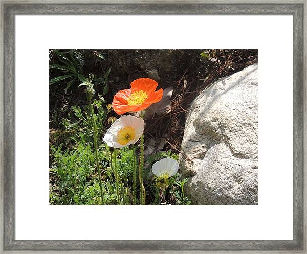 Poppies In The Sun Framed Print