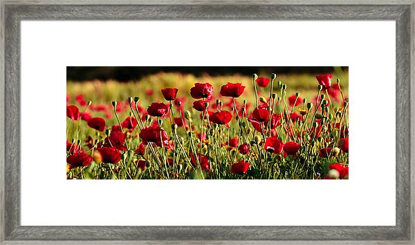 Poppy Fields Forever Framed Print