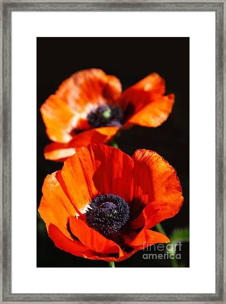 Poppy Flower Pair Framed Print