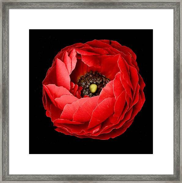 Poppy On Black Background Framed Print