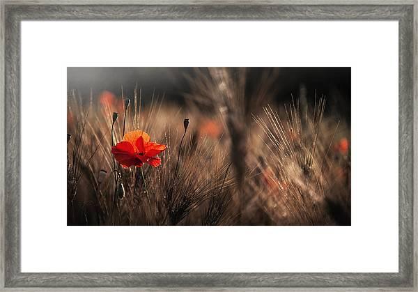 Poppy With Corn Framed Print by Nicodemo Quaglia