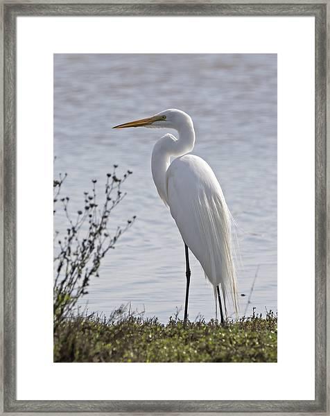 Portrail Of An Egret Framed Print