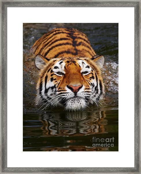 Portrait Of A Bathing Siberian Tiger Framed Print