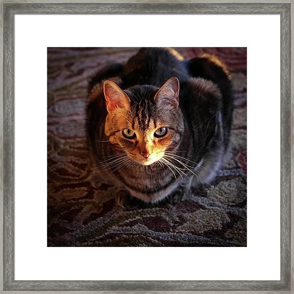 Portrait Of A Tabby Cat With Sunlight Framed Print