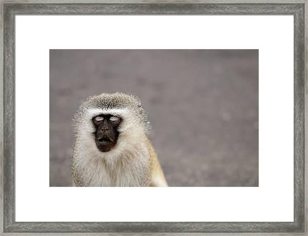 Portrait Of A Vervet Monkey Chlorocebus Framed Print
