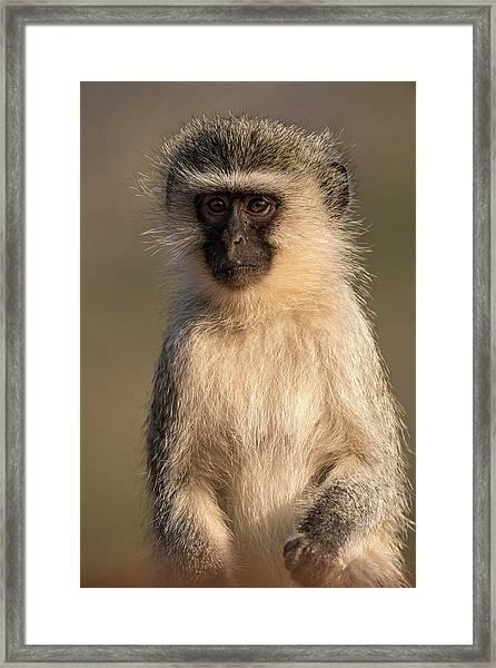 Portrait Of A Vervet Monkey Framed Print
