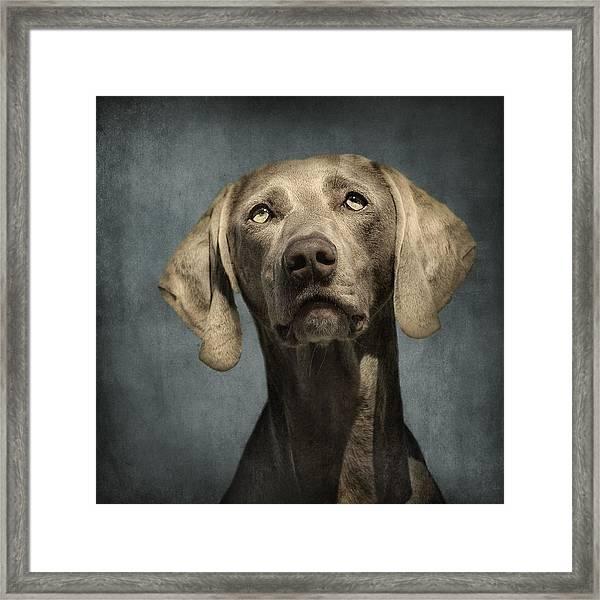 Portrait Of A Weimaraner Dog Framed Print