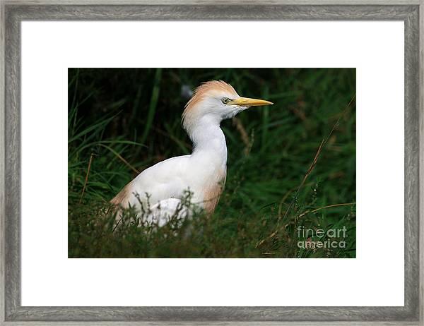 Portrait Of A White Egret Framed Print