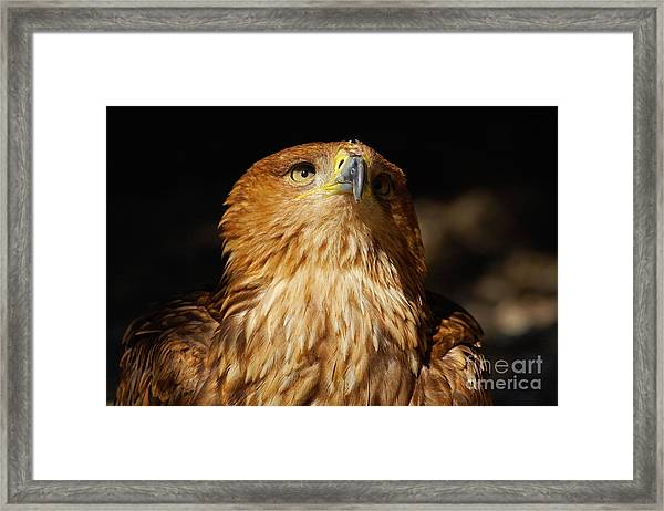 Portrait Of An Eastern Imperial Eagle Framed Print