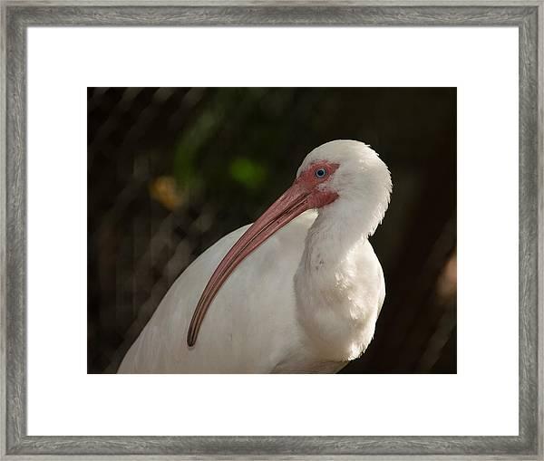 Portrait Of An Ibis Framed Print