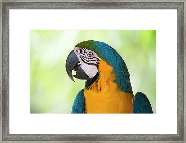 Portrait Of  Blue-and-yellow Macaw Framed Print