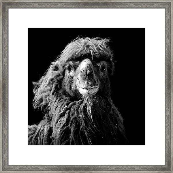 Portrait Of Camel In Black And White Framed Print