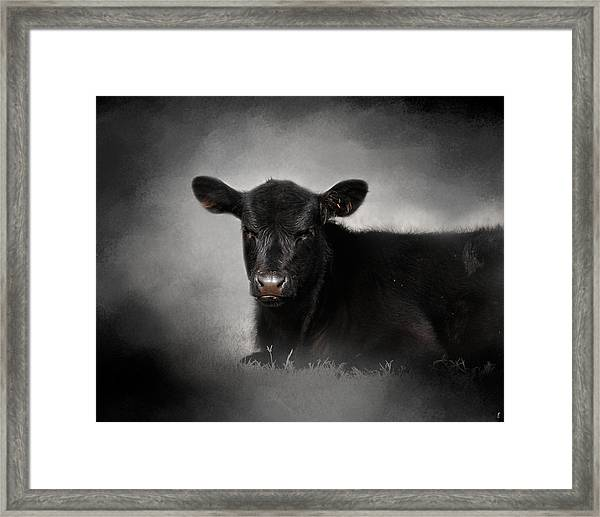 Portrait Of The Black Angus Calf Framed Print