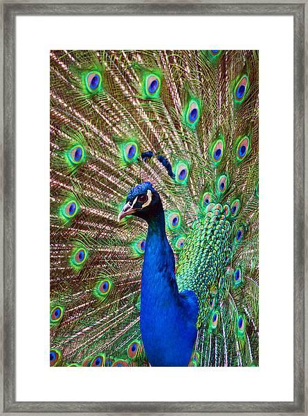 Portrait Peacock Framed Print