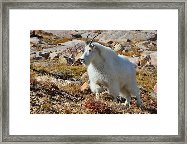 Posing Mountain Goat Framed Print