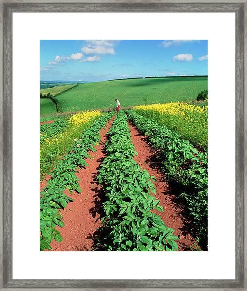 Potato Plants Flanked By Mustard On Organic Farm Framed Print