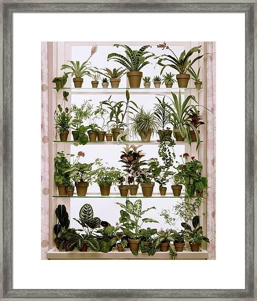 Potted Plants On Shelves Framed Print